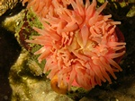 Dahlia anemone (Urticina felina)